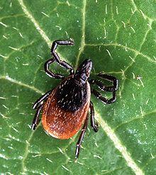 Ixodes scapularis (aka 'Deer Tick')